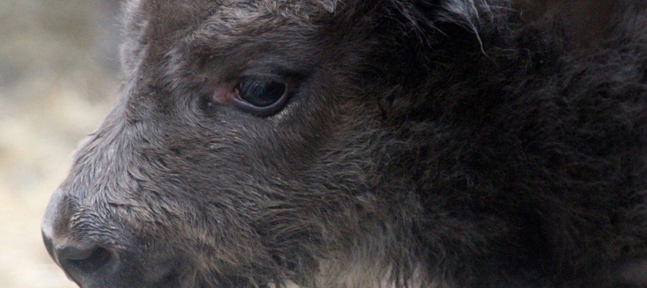 V táborské zoo se narodil první vzácný zubr