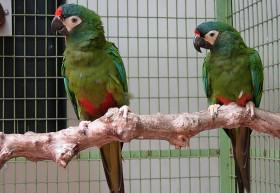 ara-maracana