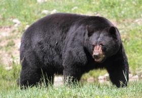 medved-baribal