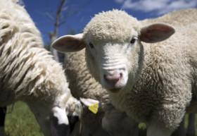 ovce-domaci