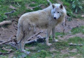 vlk-arkticky