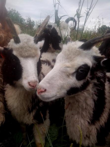 ovce-jakobova