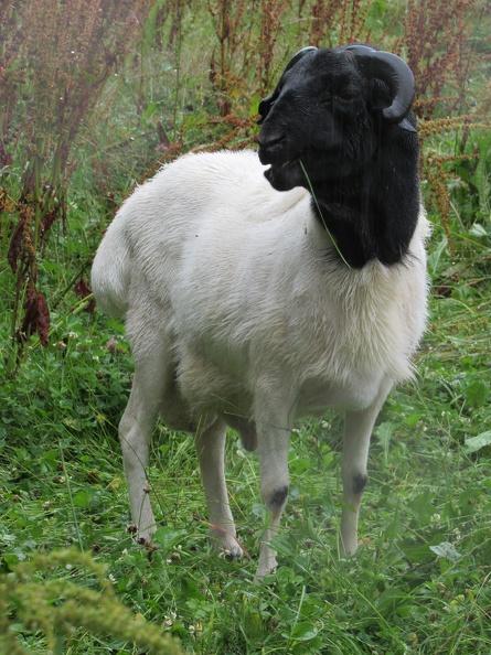 ovce-somalska